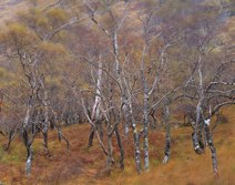 Birches in Autumn