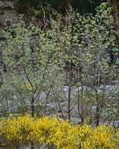 Broom and Alder Trees