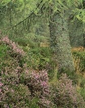 Heather and Larch, Logiealmond thumbnail