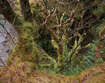 Tree and Ferns by Allt Fhaolain thumbnail